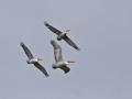 pelicans_pix.jpg