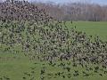 rbg_flock_fly.jpg