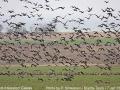 red-breasted-geese.jpg