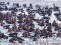 red-breasted-geese_0.jpg