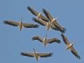 white_pelicans_0.jpg