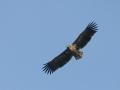 white_tailed_eagle.jpg